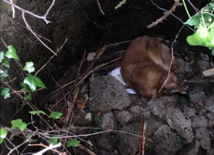 У Мукачеві собаку врятували з каналізаційного колектора (ВІДЕО)