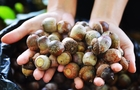 Берегівські лісівники збирають жолуді для відновлення дібров