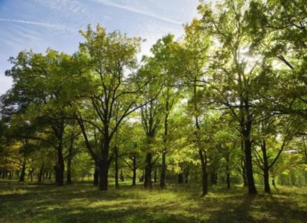Тячівські лісівники вирішили призупинити вирубку дубів