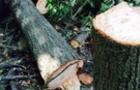 На Мукачівщині хлопці пиляли дерева. Одного з них вбило гілкою