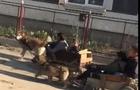 Відео дня: Берегівські циганчата влаштували перегони на колісних собачих упряжках (ВІДЕО)