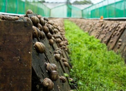 Равликова ферма в Нижньому Селищі вироблятиме до 10 тонн равликів на рік