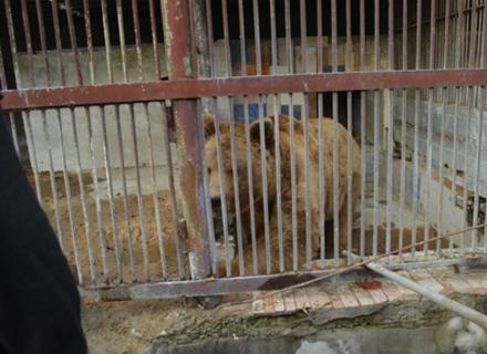 На Закарпаття привезли трьох ведмедів із Львівщини, де вони 15 років не бачили лісу (ВІДЕО)