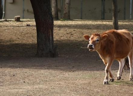 Підтверджено і другий випадок загибелі корови від сказу на Мукачівщині