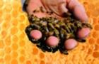 Уляна Супрун про корисність лікування продуктами бджільництва