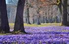 На Берегівщині рубали дерева в період цвітіння Шафрану Гейфеля