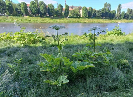 Екологи обурюються бездіяльністю влади Ужгорода у протидії розростанню борщівника Сосновського вздовж річки Уж