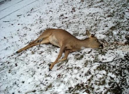 У нацпарку Синевир браконьєри вбивали оленів