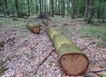 На Мукачівщині військові лісівники продовжують безкарно вирубувати вікові дуби