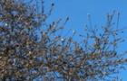 В Ужгороді почала квітнути біла магнолія