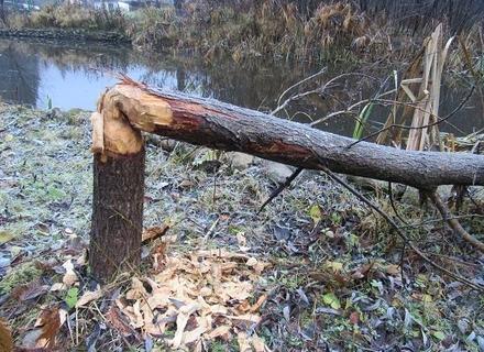 На Тячівщині бобри знищили кілька дерев прямо на території офісу лісництва (ФОТО)