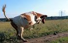 Через виявлений сказ у корови у Станові оголошено двомісячний карантин (ВІДЕО)