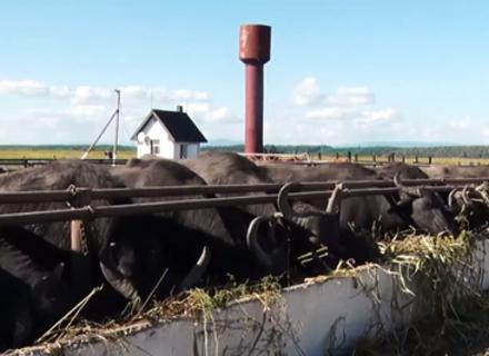 Буйволина ферма, що розташована на Виноградівщині, налічує вже 70 тварин