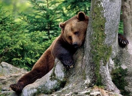 Ведмеді в реабілітаційному центрі на Міжгірщині готуються до зими (ВІДЕО)