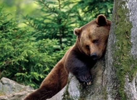 Як на Міжгірщині ведмедям зуби видаляли (ВІДЕО)