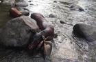 На Рахівщині браконьєри підстрелили оленицю і залишили помирати в річці (ФОТО)