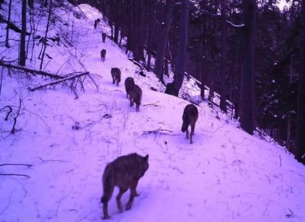 На Рахівщині помітили зграю вовків