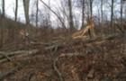 За незаконну рубку дерев на Виноградівщині, до адмінвідповідальності притягнуто 16 лісівників