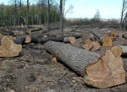 На Рахівщині чоловік самовільно зрубав 30 дерев