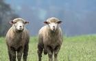 На Рахівщині вночі в лісі знайшли мертвим пастуха