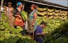 Виробництво тютюну на Закарпатті: Від розквіту до повного занепаду