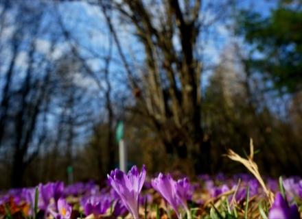 Весняна казка в Закарпатті - шафранові поля (ФОТО)
