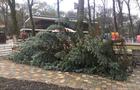 Чому зрубали велику сріблясту ялину для Боздоського парку в Ужгороді (ФОТО)