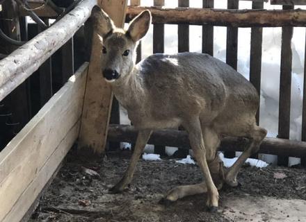 На Рахівщині лісники знайшли і врятували покалічену козулю