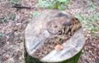 Тільки в одному лісгоспі на Закарпатті виявлено незаконних рубок дерев на мільйони гривень