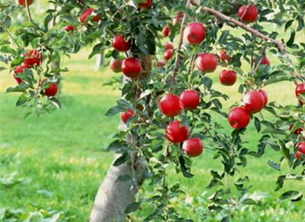 Як приготувати яблучний джем та повидло