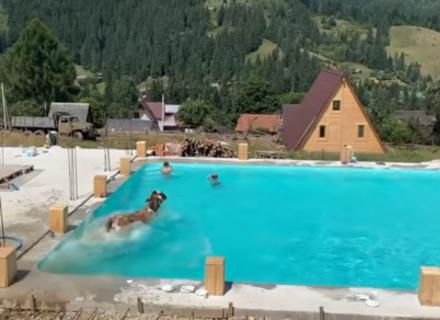 Курйоз: На Закарпатті у новозбудованому басейні поплавала корова (ВІДЕО)